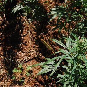 cannabis light biella