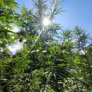 cannabis biella
