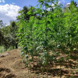 cannabis ligh