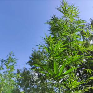 cannabis sativa light
