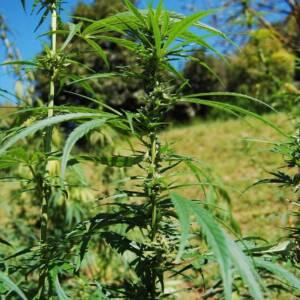 cime di cannabis