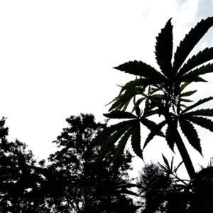 piante canapa
